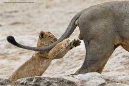 Why the lion roared: The Comedy Wildlife Photography Awards 2019 Sarah Skinner Brackenll United Kingdom Phone: 07795803689 Email: sarahskinner74@gmail.com Title: Grab life by the ..... Description: I had been watching the younger members of the Savuti Marsh pride in Botswana frolic around with play for a while at one of the waterholes. As the heat started to rise one of the two dominant adult males of the pride decided to move from his position to seek shade. As the male stood and started walking off one of the young cubs, who is blind in one eye ran toward the male, leaping up toward him. Rather than leaping onto his back as we expected the cubs focus instead appeared to directed toward be the adult male's nether regions, with claws fully protracted! Who knows if it was intentional or not, or perhaps a slightly misguided aim. Had the cub been successful in his target there would have been a non to pleased male lion and we suspect a scolded lion cub. Fortunately for the cub and the male he narrowly missed his 'crown jewels' and the male walked on, with all body parts unscathed! Camera/Lens Detail: Nikon D500 SLR with Nikon AF-S Nikkor 500mm f/4E FL ED VR lens Settings: F5.6, 1/1250s Image Taken. November 2017 Animal: African Lion Location of shot: Savuti (Chobe National Park) Botswana