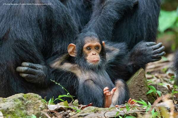 This is the life! The Comedy Wildlife Photography Awards 2019 Thomas Mangelsen Jackson United States Phone: 307-733-6179 Email: andrew@mangelsenstock.com Title: Laid Back Description: On the last day in Gombe Stream National Park, magic happened when a family group of a dozen chimps came down from the trees into a clearing. It was almost as if to offer a greeting to their most passionate human advocate, Dr. Jane Goodall. This photograph is of a ten-month-old chimp named Gombe, grandson of Gremlin—a chimp that Jane studied and knew well. Gombe was leaning against his mother, Glitter. This image speaks to the similar behaviors between our closest relatives in the animal world. Animal: Chimpanzee Location of shot: Gombe Stream National Park, Tanzania