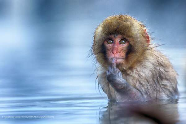 """Shhh! The Comedy Wildlife Photography Awards 2019 Txema Garcia Laseca Palma Spain Phone: 653465999 Email: txemoto@gmail.com Title: To be or not to be Description: This snow monkey was looking at me when i took this picture and I think that he thought: """"what ugly guy!"""". He was taking a bath in the hot thermal water while the temperature outside was -15 degrees. Animal: snow monkey (Macaca fustata) Location of shot: Japan"""
