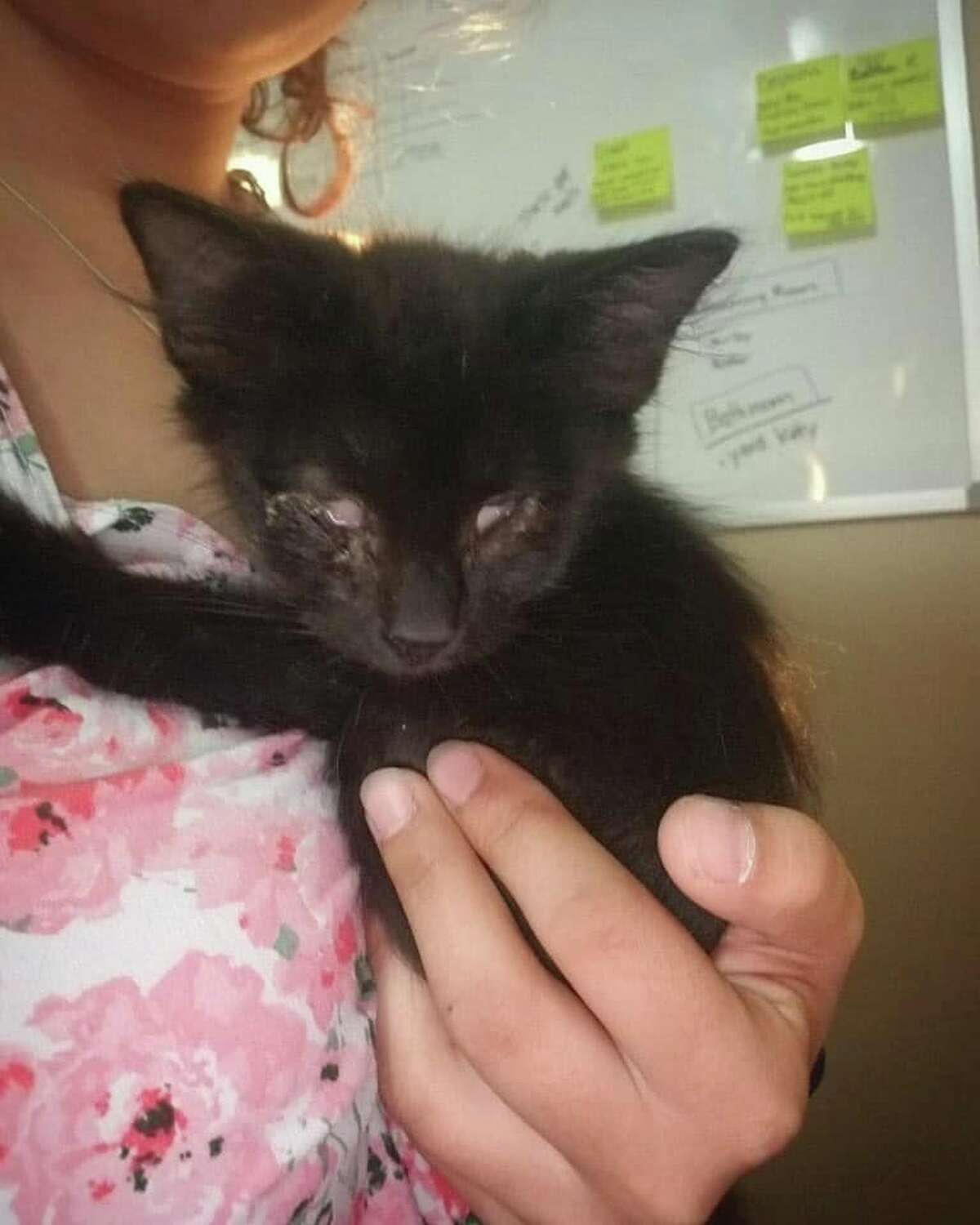 San Antonio Pets Alive! is asking for donations to help a two month kitten that needs a double eye removal surgery.