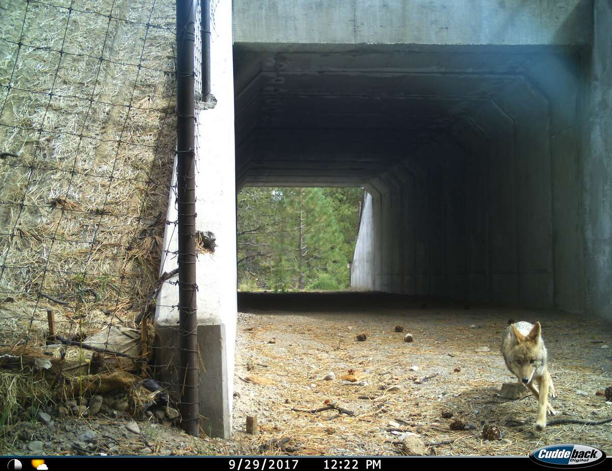 A coyote uses the Sierra 89 Wildlife Undercrossing to avoid traversing Highway 89 at Sagehen Summit north of Truckee.