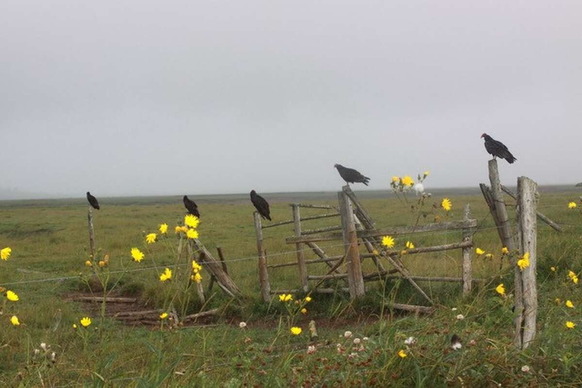 Roy Fruiterman of Albany found these turkey vultures waiting for their next meal on Cape Breton Island, Nova Scotia on a misty morning in August.