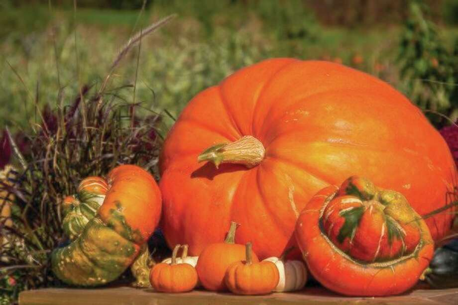 A pumpkin in the botanical world is a modified berry called a pepo. A pepo is a berry with a hard thick rind. (Photo/Metro Graphics)