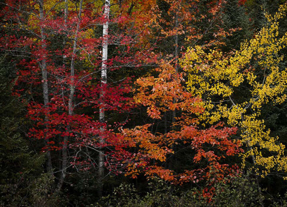 A beautiful array of fall colors near Lutsen, Minn. Turn off Scenic Hwy. 61 and you'll be engulfed in hardwoods, and likely happen upon the Superior Hiking Trail. (Brian Peterson/Minneapolis Star Tribune/TNS)