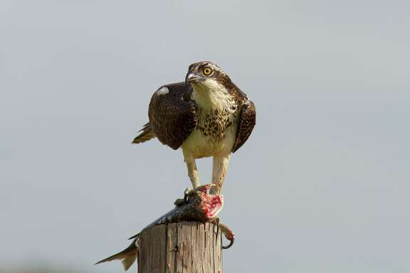 Ospreys carry the folk name fish-eagle. They perch on poles and trees around coastal bays and inland waters.