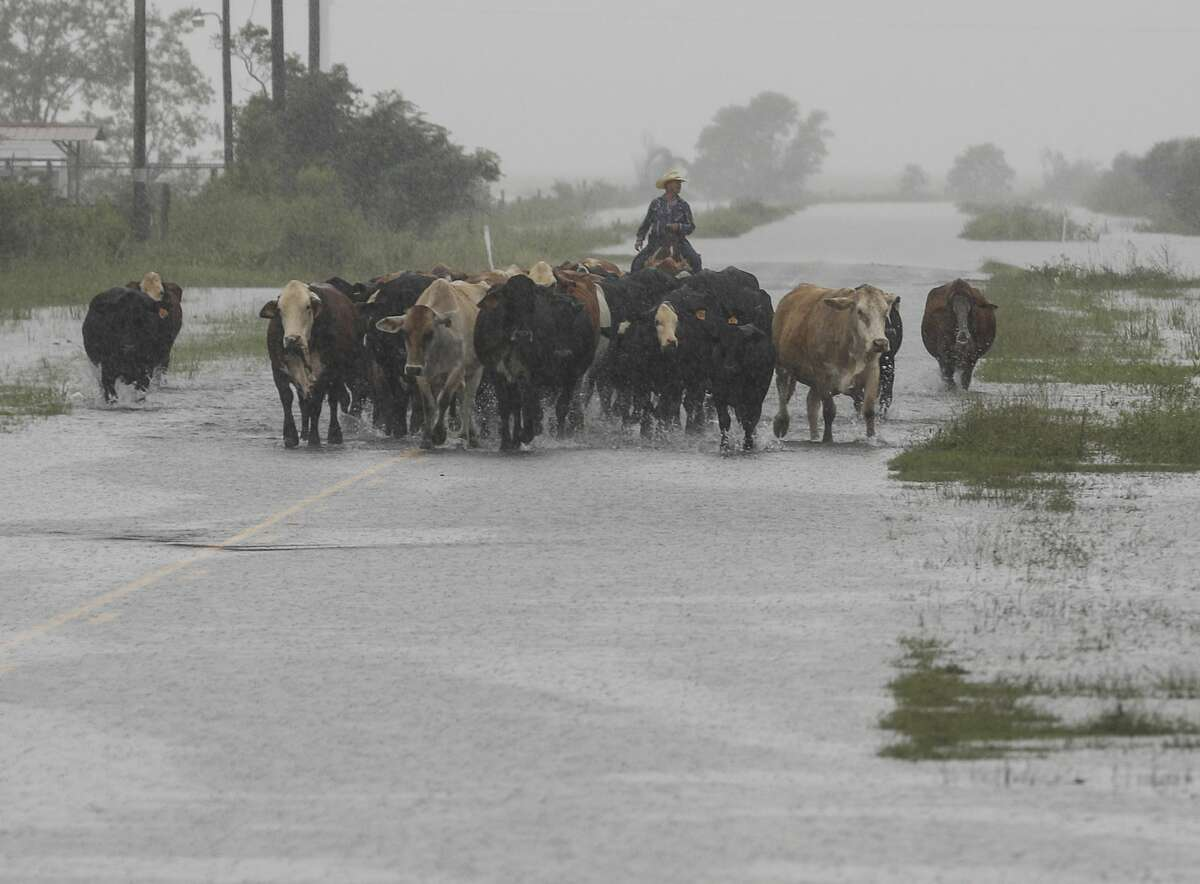 Jim Dunagan moves his cattle to higher ground as remnants of Tropical Depression Imelda flood parts of Southeast Texas on Thursday, Sept. 19, 2019, near Nome. Dunagan said his cattle were standing in water up to their stomachs before he and another man moved them to another pasture. He also said he thought the rain fell faster than it did during Hurricane Harvey, within a 24 hour to 48 hour period.