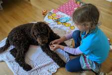 A goldendoodle named Indie at play at her home in San Francisco