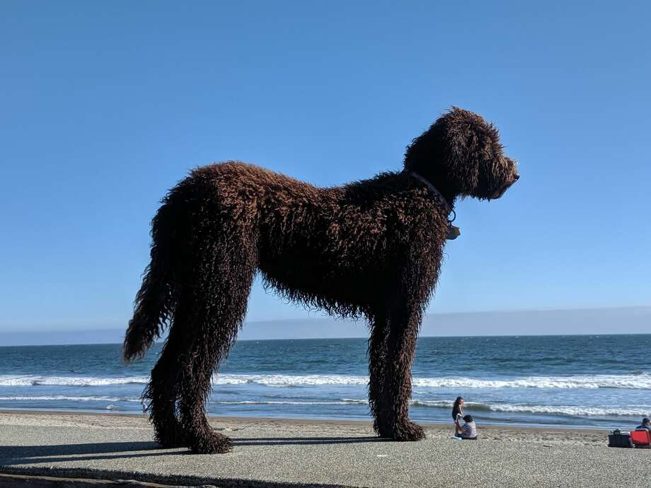 A goldendoodle named Indie at Stinson Beach, Calif., summer 2019. Photo: A. Graff