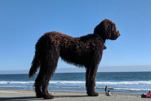 A goldendoodle named Indie at Stinson Beach, Calif., summer 2019