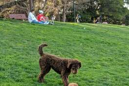 A goldendoodle named Indie at Dolores Park in San Francisco