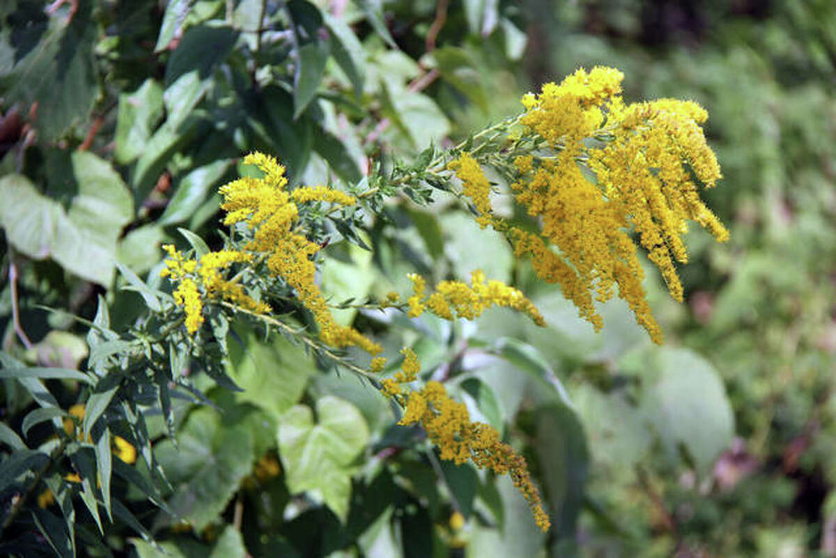 Representing a blaze of yellow and gold among the green, this plant at the Watershed Nature Center Friday looks ready for summer to end.