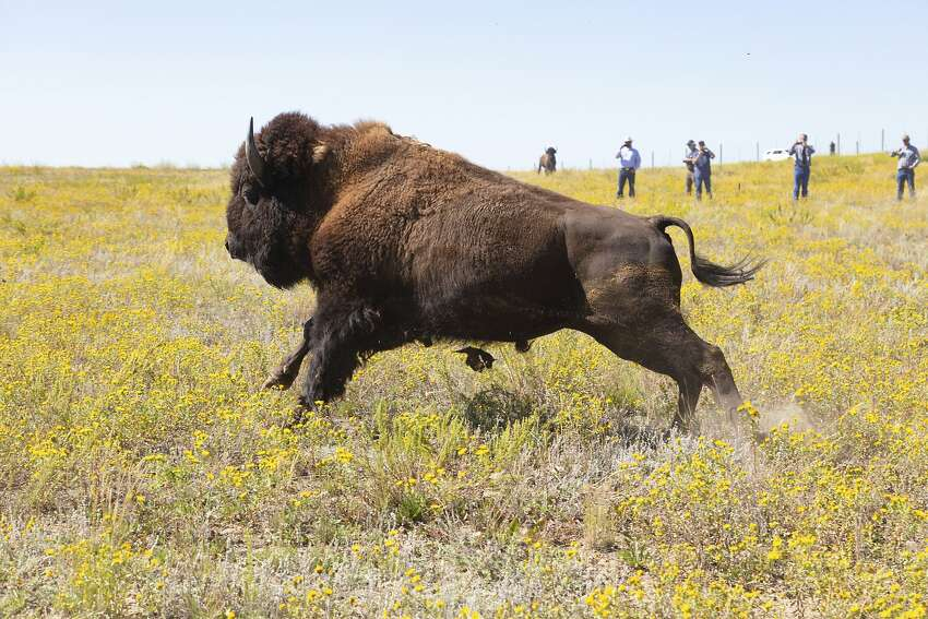 This Aug. 19, 2019 photo provided by the National Park Service shows bison from Yellowstone National Park being released on Montana's Fort Peck Indian Reservation.