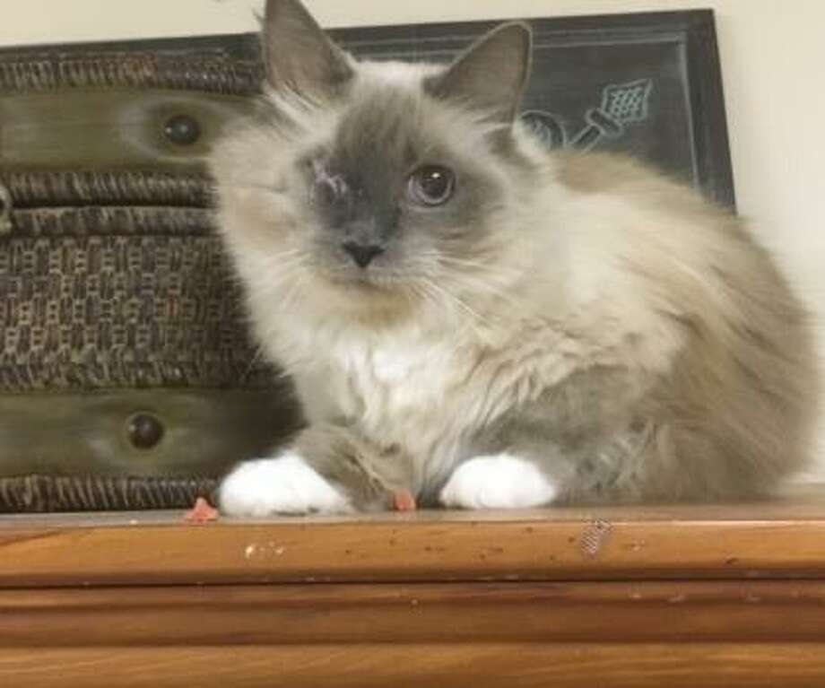 This is Mei Mei, and she is a sweetie. Purring and gentle, Mei Mei has been a favorite with our staff. She is an indoor kitty only and would love nothing more than to sit and be snuggled. Mei Mei is a healthy ragdoll cat. She is 12-years-old and she is at our Newington facility. Remember, the Connecticut Humane Society has no time limits for adoption. Inquiries for adoption should be made at the Connecticut Humane Society located at 701 Russell Road in Newington or call toll free: 1-800-452-0114. Photo: Contributed Photo