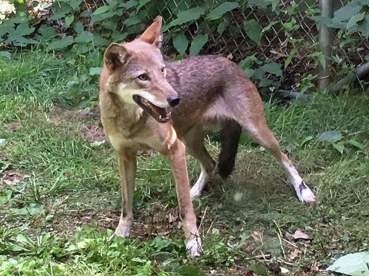 Peanut, a red wolf, joined the Beardsley Zoo in mid-July.