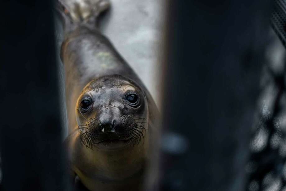 An elephant seal pup peers through a gate at the Marine Mammal Center in Sausalito, Calif., on April 2, 2019. Observers fear a resurgence in a marine heat wave that led to a spike in deaths of sea lion pups, among other species. Photo: Washington Post Photo By Michael Robinson Chavez / The Washington Post