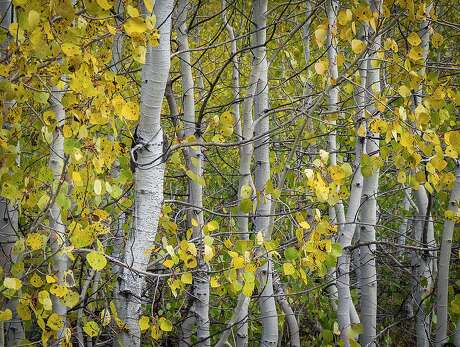 Aspens in peak yellow -- two-to-four weeks early -- at Long Lake in Lassen County