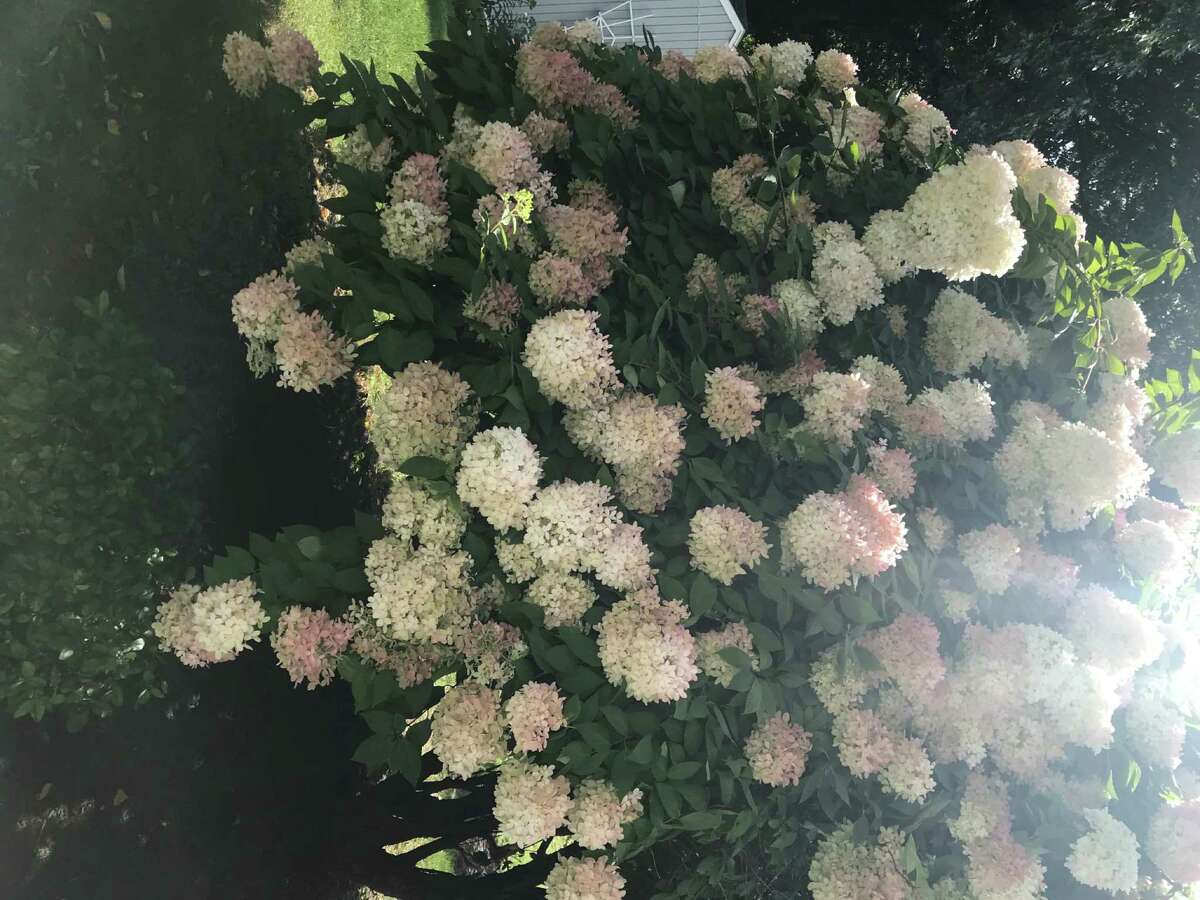 What a year for hydrangeas, huh? Here's the evidence of that from the yard of Ann DeVoe of Lacy Lane in Loudonville. Theya€™re the last flowers of the summer and this year the result