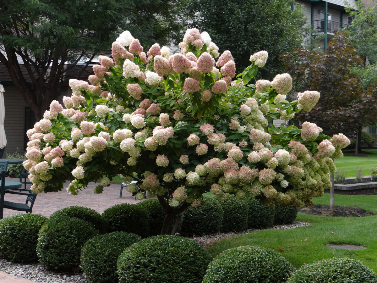 And Max Tiller, a resident of the Avila Retirement Community spotted this hydrangea growing at the center on White Pine Drive in Albany in the courtyard between the east wing and the west wing.