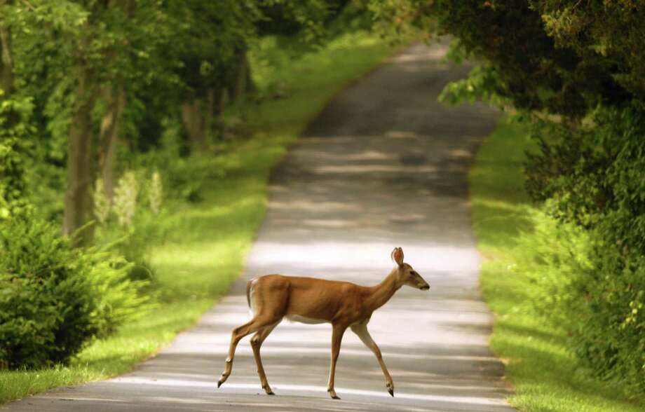 The state Department of Energy and Environmental Protection is reminding motorists to be watchful of increased deer and moose activity along roadways, especially during early morning and evening hours. September through October is the peak of the breeding season for deer and moose. Photo: Paul Desmarais / ST / Internal