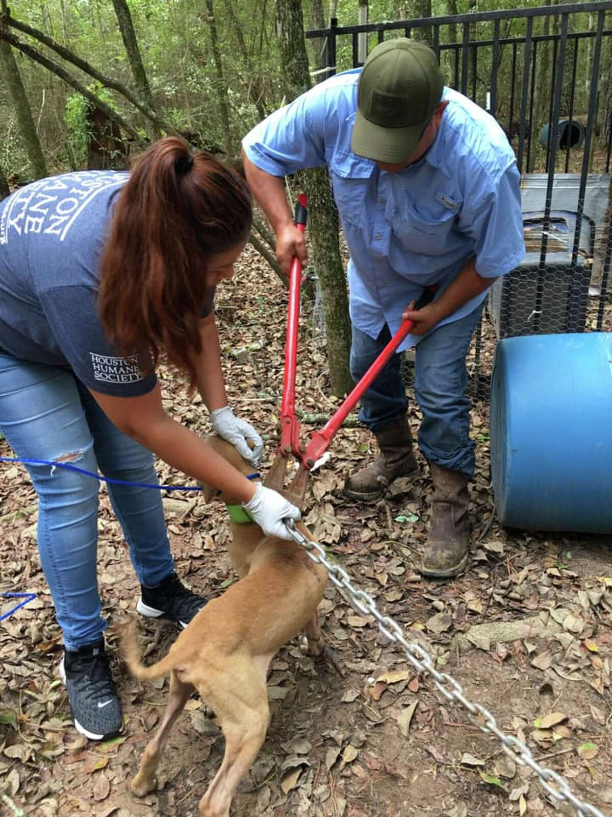 Rescuers found the dogs bound with 15-pound metal chains to trees in a wooded area off Hollyknoll Drive in Plantersville, according to a release from the Grimes County Sheriff's Office. The dogs were found a day after Tropical Storm Imelda, and endured days of heavy rain with minimal access to food and water.