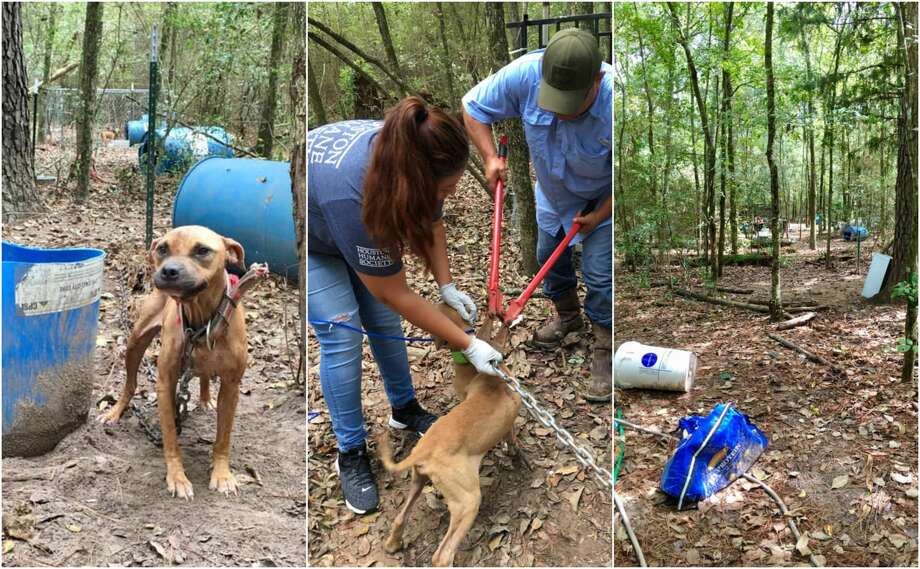 Fifteen mixed pit bulls were found chained up to trees and deserted in a wooded area of Grimes County last week. Photo: Houston Humane Society
