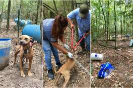 Fifteen mixed pit bulls were found chained up to trees and deserted in a wooded area of Grimes County last week.