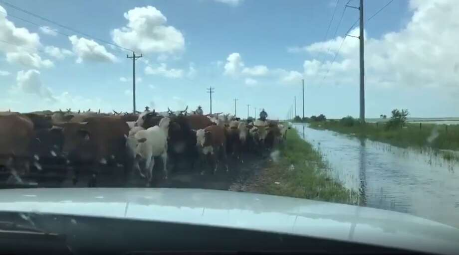 """""""We have seen an issue with livestock seeking higher ground along roadways,"""" the TxDOT tweet states. """"Please use caution while traveling. Ranchers are busy trying to herd them to safer locations."""" Photo: TxDOT Beaumont/Twitter"""