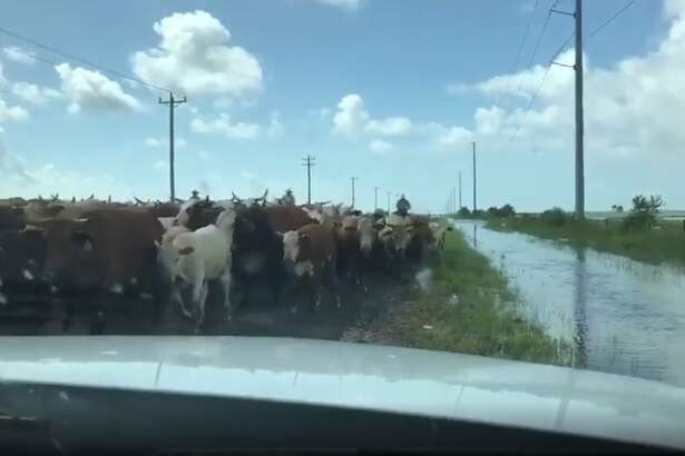 """We have seen an issue with livestock seeking higher ground along roadways,"" the TxDOT tweet states. ""Please use caution while traveling. Ranchers are busy trying to herd them to safer locations."""