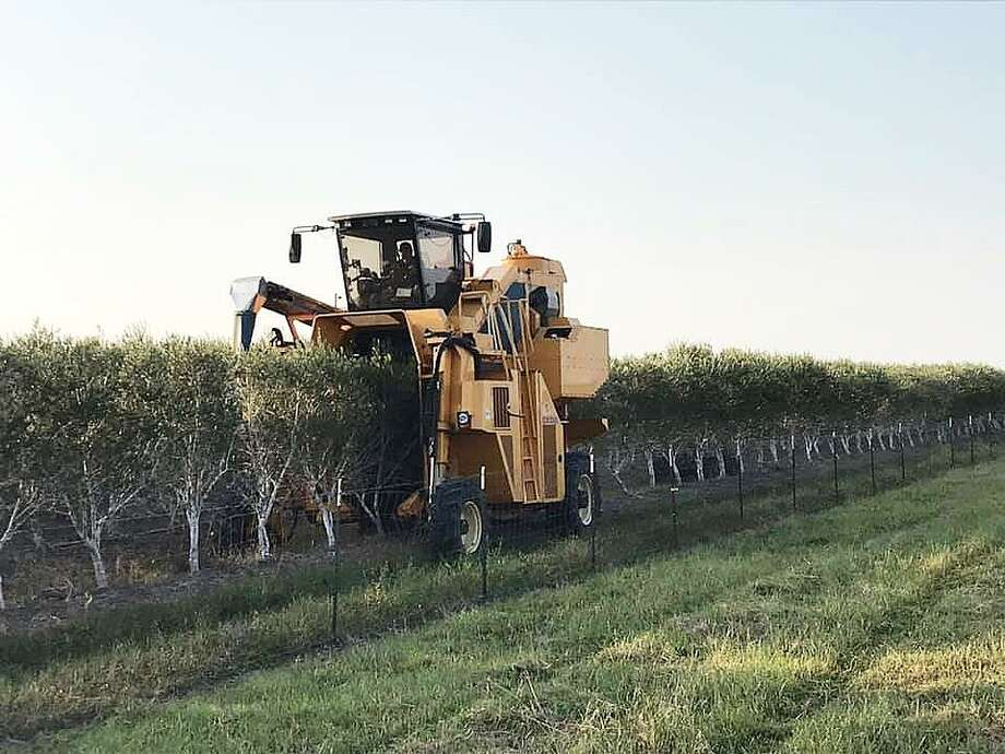 At the Southeast Texas Olive farm, an Oxbo harvester towers over the trees and literally wraps itself around the tree moving slowly at barely 4 mph. Inside the harvester has a three-fan cleaning system that removes leaves and debris from the crop stream. Photo: Monica Brazil