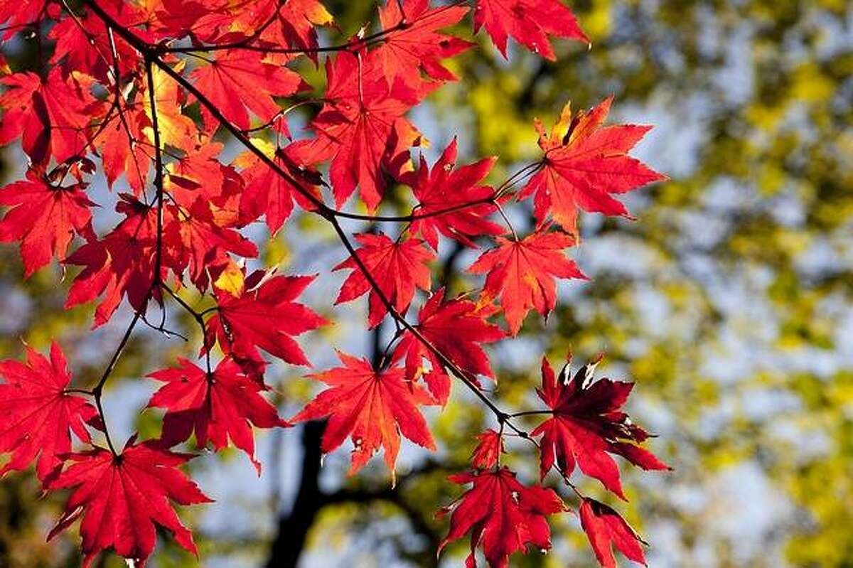 Early fall color, like this red maple is exhibiting, may be due to added stress from a trunk injury rather than seasonal changes.