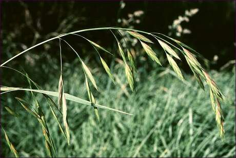 Rescue grass is among the grassy winter weeds.