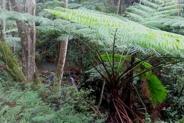 Wild pigs often root and water in the the deep jungle ravines in Kauai's forest reserves