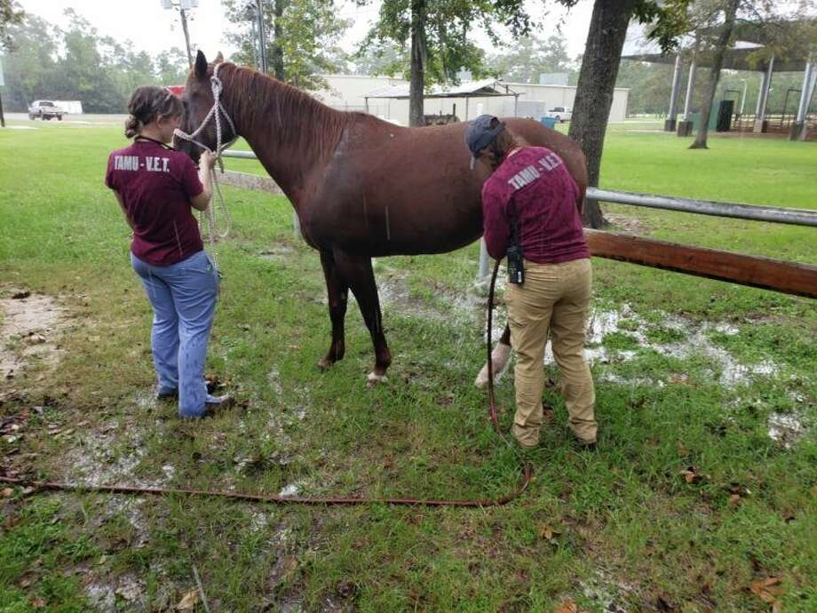 The Texas A&M Veterinary Emergency Team (VET) has spent the last two weeks helping treat hundreds of animals including more than 200 malnourished animals found at a warehouse in Texas as well as nearly 100 cattle and other animals that are still wading through Imelda's floodwaters in Jefferson and Chambers counties. Photo: Courtesy Texas A&M Veterinary Emergency Team/Facebook