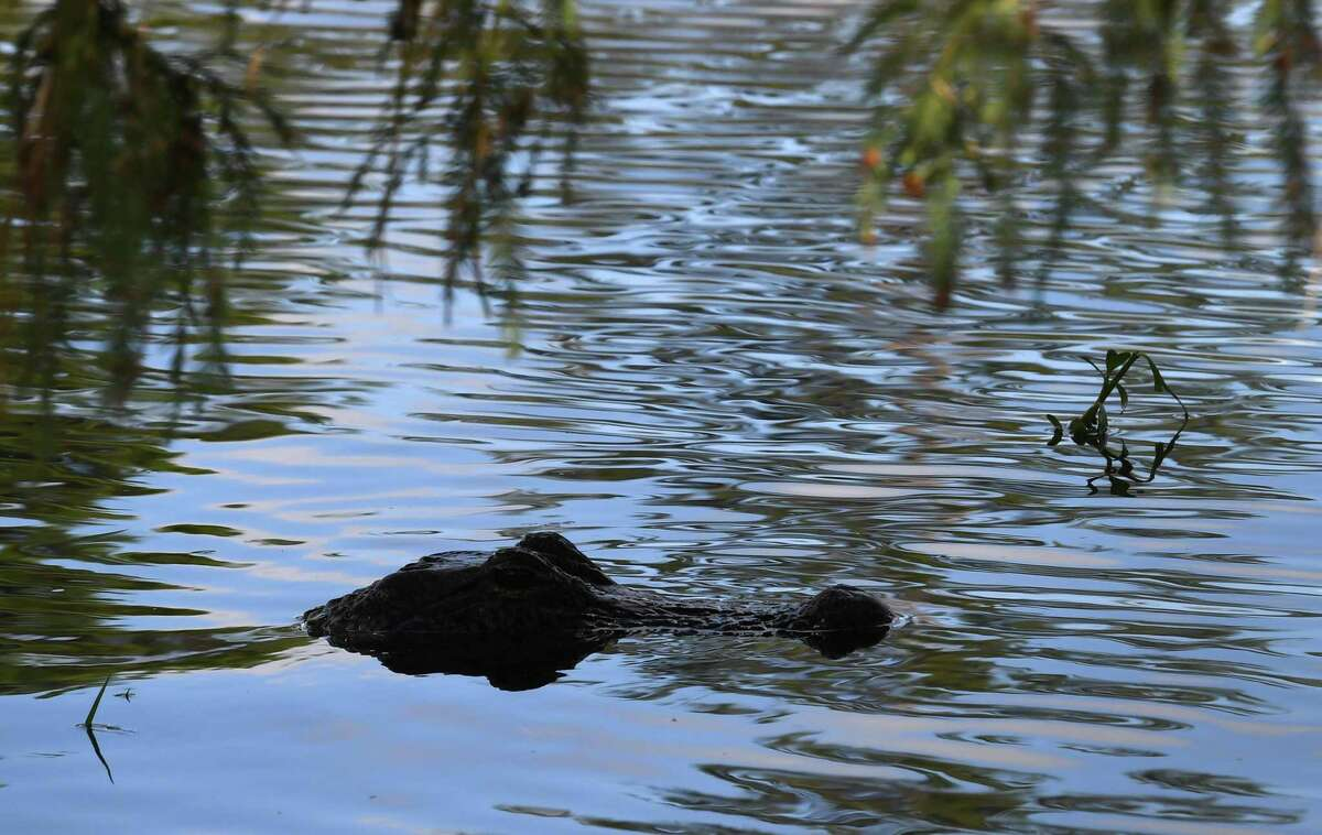 An alligator swims at Gator Country Monday afternoon after Tropical Depression Imelda inundated Southeast Texas with rain water. Photo taken Monday, 9/23/19