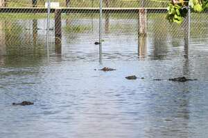 Gator Country after Tropical Depression Imelda inundated Southeast Texas with rain water. Gary Suarge, the company owner, said that Tropical Depression Imelda dropped a foot more water on the grounds than Tropical Storm Harvey. Photo taken Monday, 9/23/19