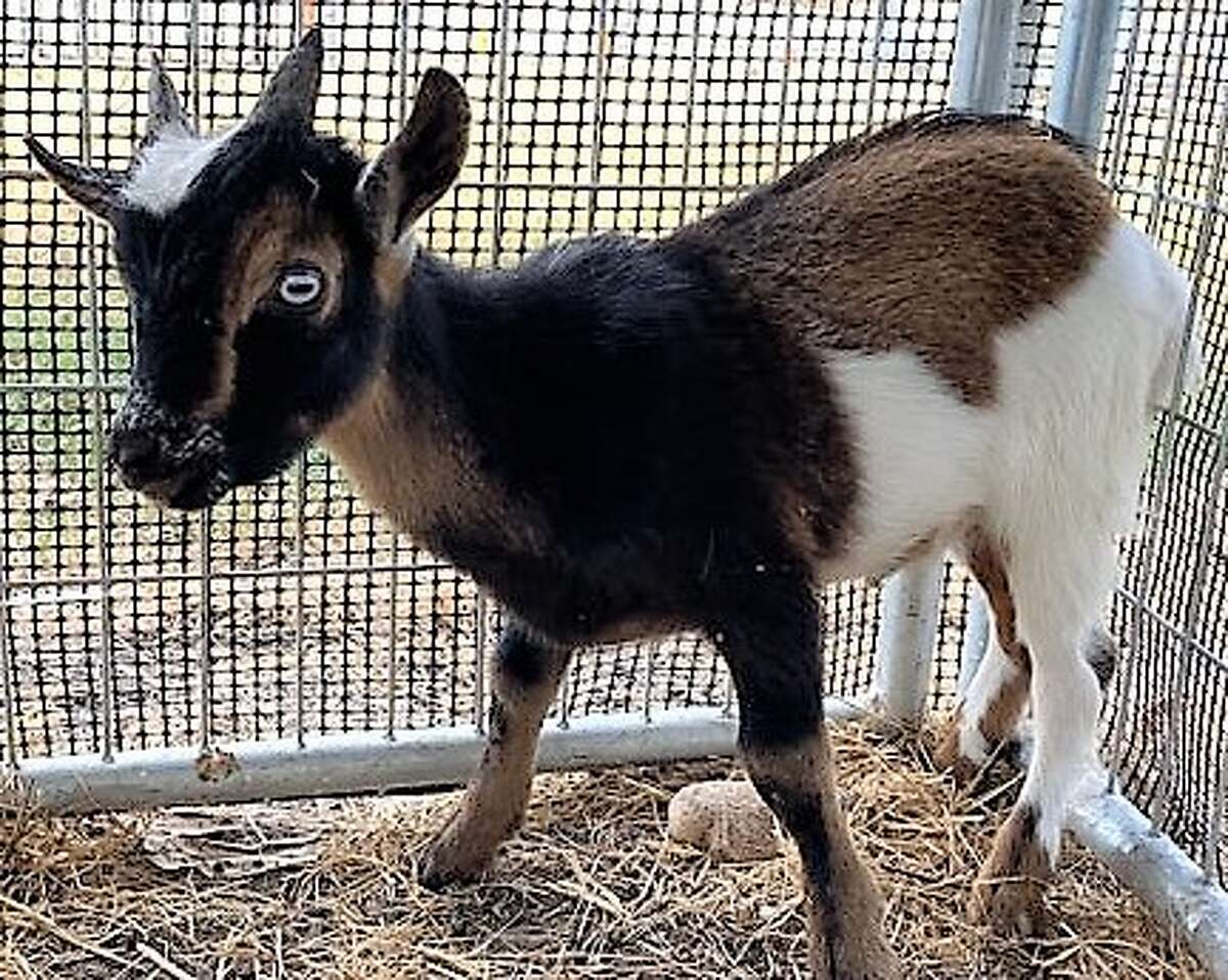 A baby goat was found roaming around near a strip mall on the city's Northwest Side Tuesday morning, according to officials from the Animal Care Services.