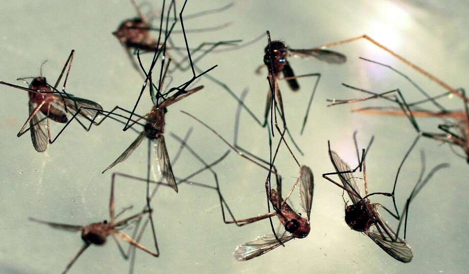 A pool of mosquitoes in Stonington has tested positive for Eastern Equine Encephalitis, which took the lives of three people in the state last week. (AP Photo/Pat Wellenbach) Photo: Pat Wellenbach / ASSOCIATED PRESS / AP2010