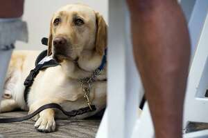 Delta Air Lines is discontinuing a ban on emotional support animals on flights longer than eight hours. However, the airline is not changing its ban on pit bulls as service animals. (Shelly Yang/Kansas City Star/TNS)