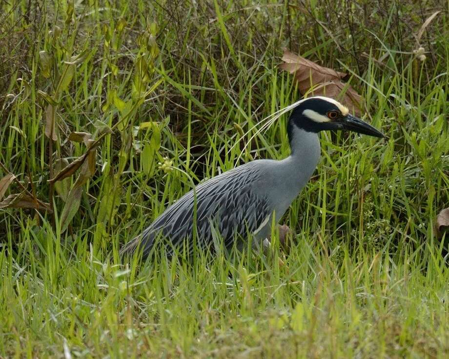 The yellow-crowned night heron is the new Official Bird of Houston. >>>PHOTOS: Official state symbols of Texas, from food to animals... Photo: Handout