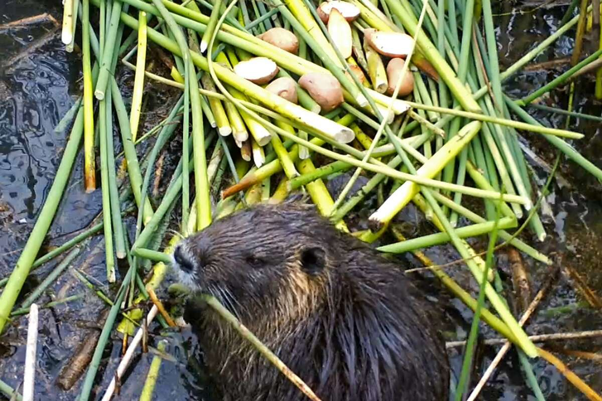This April 18, 2019, photo provided by the California Department of Fish and Wildlife shows a nutria in Merced County, Calif.