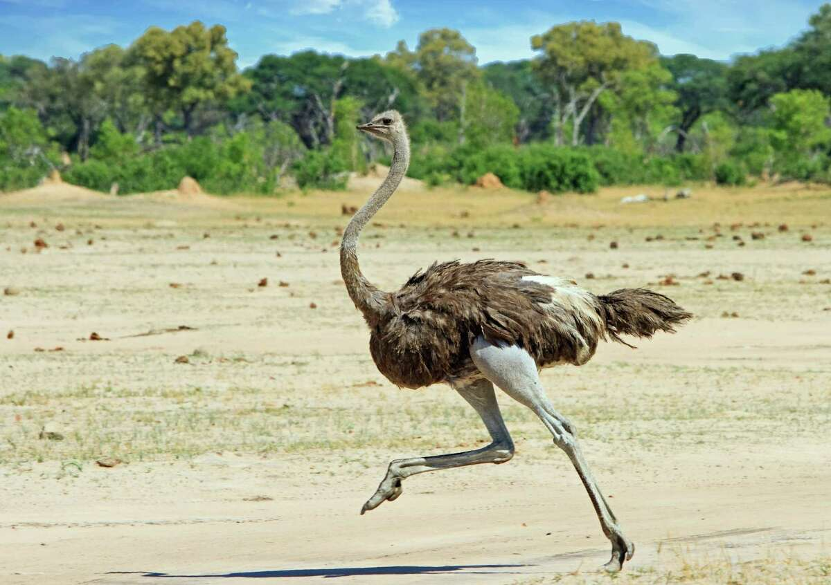 Bird: Ostrich The ostrich may not actually be able to fly, but this African bird can run at speeds of 45 miles per hour when threatened. An adult male ostrich may weigh close to 300 pounds, and can reach a height of 9 feet (about half of which comes from its neck). This last surviving member of the genus Struthio dines on things like berries and grass, and has a progressive approach to the division of household labor: Both females and males take turns guarding and tending to their eggs after a female has laid them. This slideshow was first published on theStacker.com