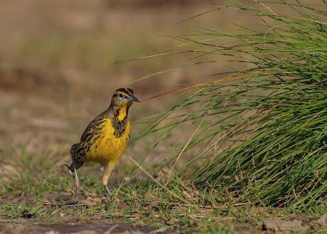 A recent study shows that the ground-dwelling eastern meadowlark is declining in population.
