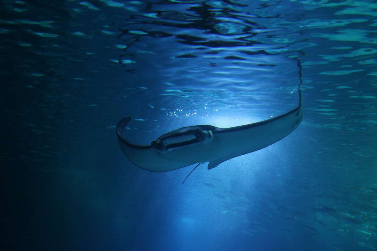 A manta ray seen at night in the waters off Hawaii.