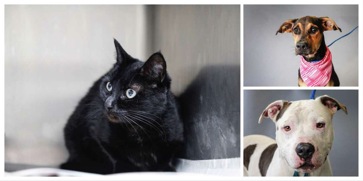Catalina (ID#: A542194) is a 10-year-old, female, black Domestic Shorthair cat available for adoption or foster from the Harris County Animal Shelter, Wednesday, Sept. 25, 2019, in Houston. Catalina comes from a loving home. Her owner has had her all of her life, but due to an illness, the owner's pregnancy is in jeopardy. She sought out multiple animal rescues, who all turned her down. Catalina is a sweet girl, who does not understand why she is in the shelter, and would like to find a foster or forever home.