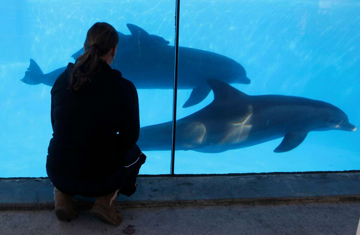 Holley Muraco, a reproductive biologist at Six Flags Discovery Kingdom, watches a newborn bottlenose dolphin calf swim with Jasmine and its mother Bella in Vallejo, Calif. on Thursday, Jan. 9, 2014. Bella, a nine-year-old bottlenose dolphin, gave birth to her first calf, but did not immediately bond with the newborn. Animal care staff intervened by introducing two experienced females, Jasmine and Bella�€™s mother Chelsea into the pool. Jasmine took the lead and is seen swimming and interacting with the calf; within half an hour, Bella joined in.