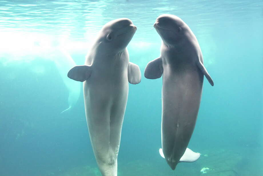 This week, the theme park announced the addition of Atla and Pearl, both 9-year-old females, to the pod. The whales, who are originally from the San Diego extension of the park, joined eight other beluga whales and five Pacific White-sided dolphins at San Antonio's Beluga Bay, according to the news release. Photo: Courtesy, SeaWorld San Antonio