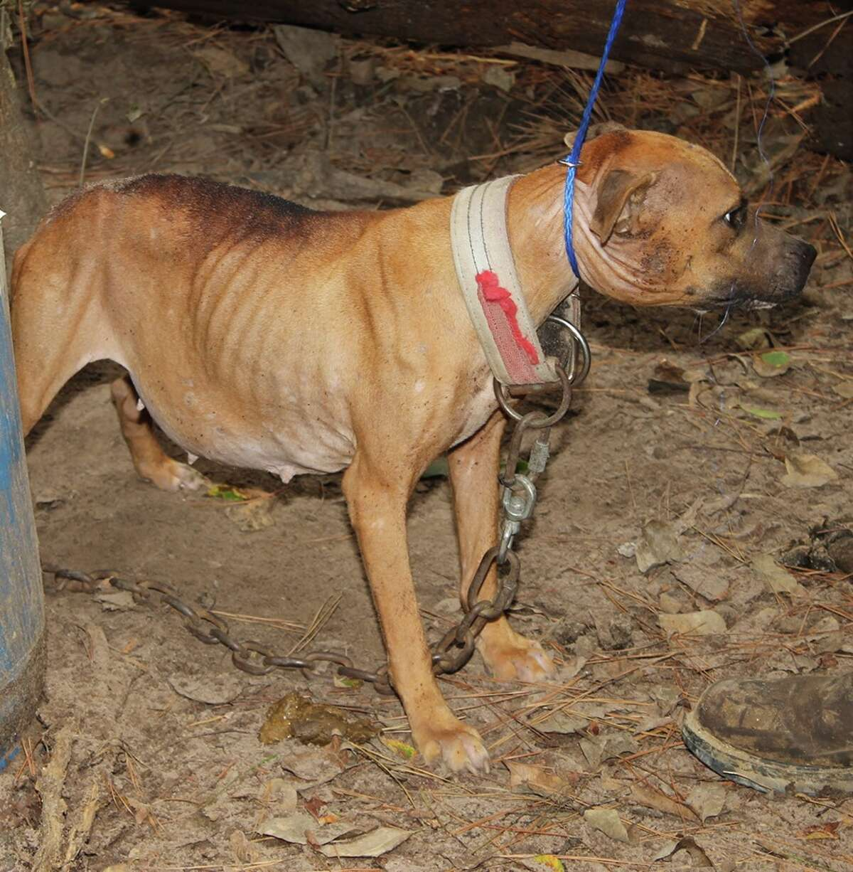 Fifteen dogs were found chained up to trees and deserted in a wooded area of Grimes County last month. (File photo) A new bill recently signed into law makes it a federal crime to abuse animals in the U.S.