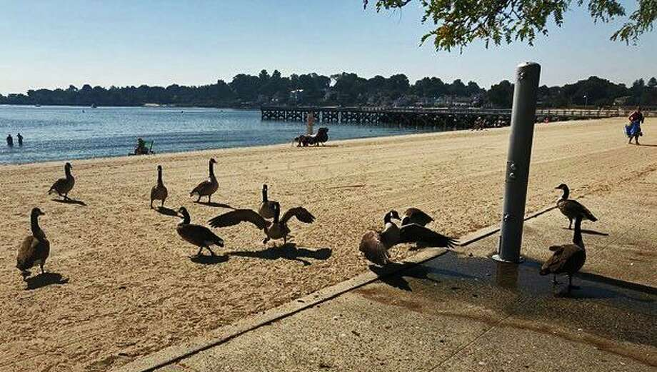 Geese at Cummings Park beach in Stamford in September 2019. Photo: John Cavanaugh / Contributed Photo
