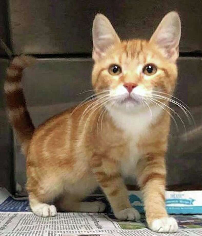 The stowaway kitten that was took rides on Hamden firetrucks in July is now available for adoption. Photo: Halfway Home Rescue