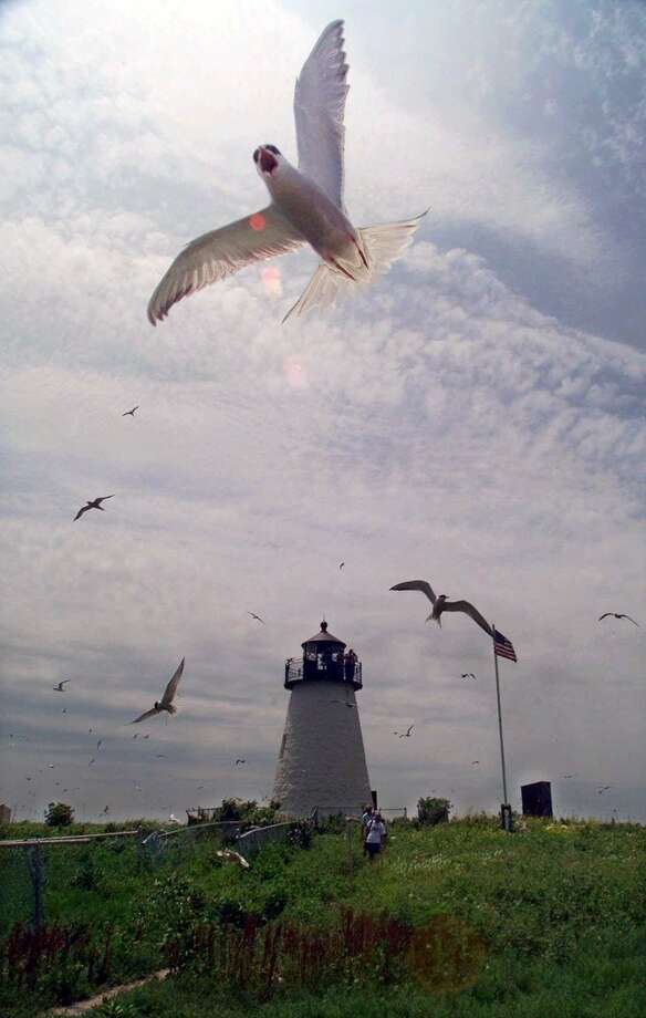Both common and roseate terns swoop and dive near the 19th-century lighthouse on Bird Island in Marion, Mass. Photo: Associated Press / AP